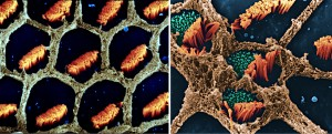 1998 - Rubel - Hair Cells